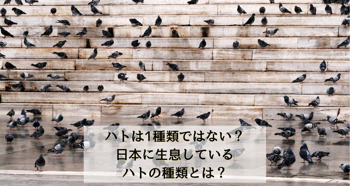 ハトの種類